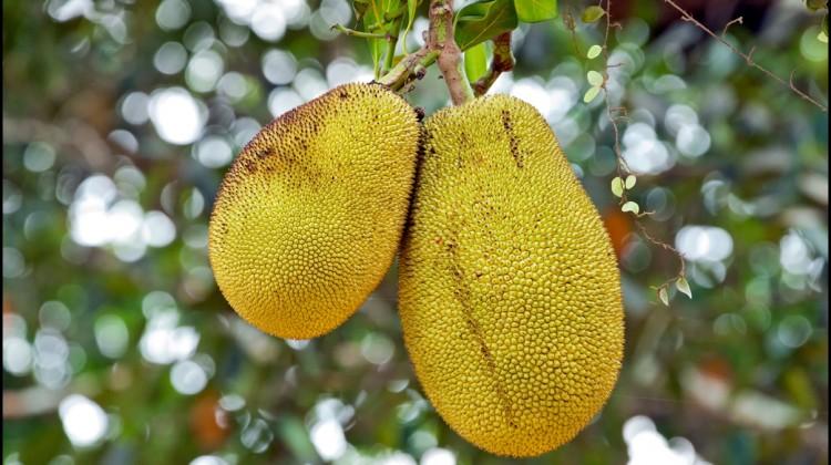 Fun Facts of Jackfruit