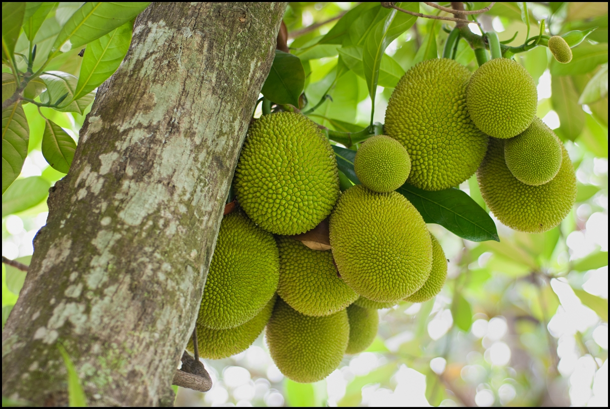 A tree branch full of jack fruits