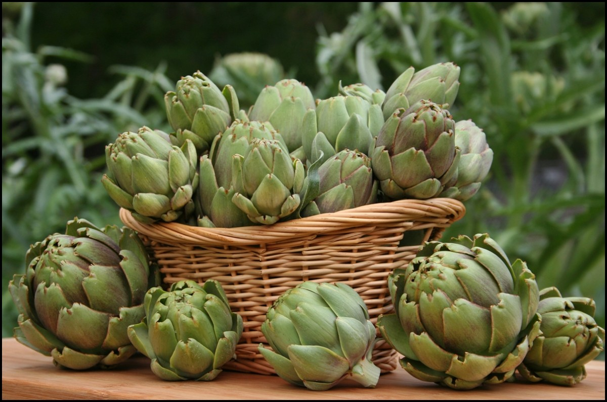 Artichokes in Basket With Artichoke Plants