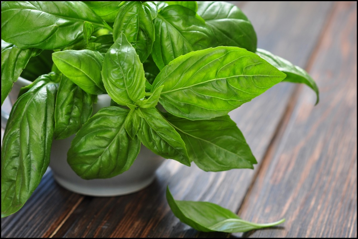 Basil Plant - The Health Benefits of Basil