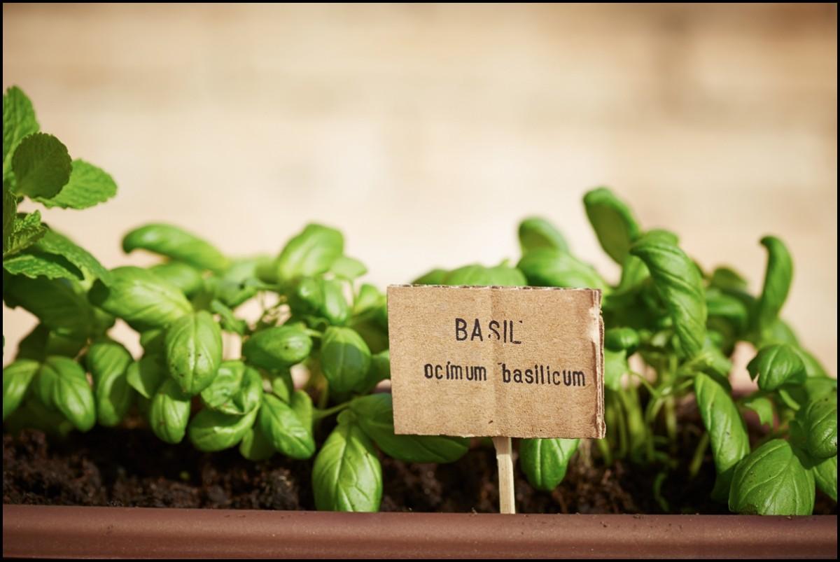 Basil plant close up