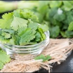 Fresh Cilantro in a bowl close up - The health benefits of Cilantro