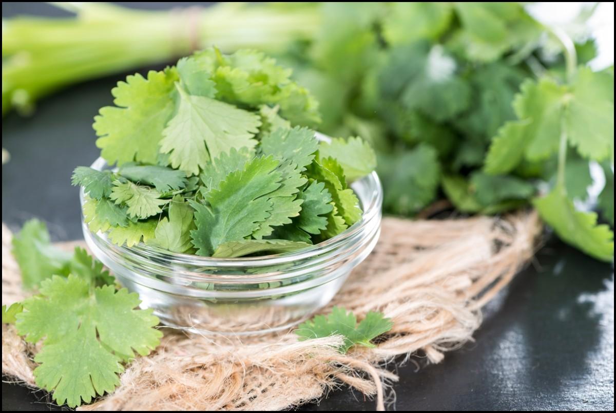 Fresh Cilantro in a bowl close up - The health benefits of Cilantro