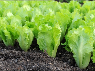 9 Crucial Health Benefits of Lettuce – Reasons Why Lettuce Consumption is Essential to a Healthier Body