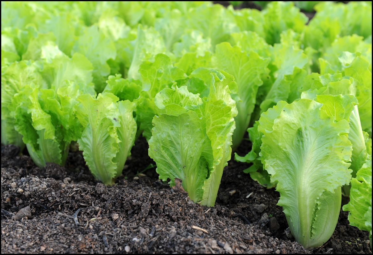 9 Crucial Health Benefits Of Lettuce Reasons Why Lettuce