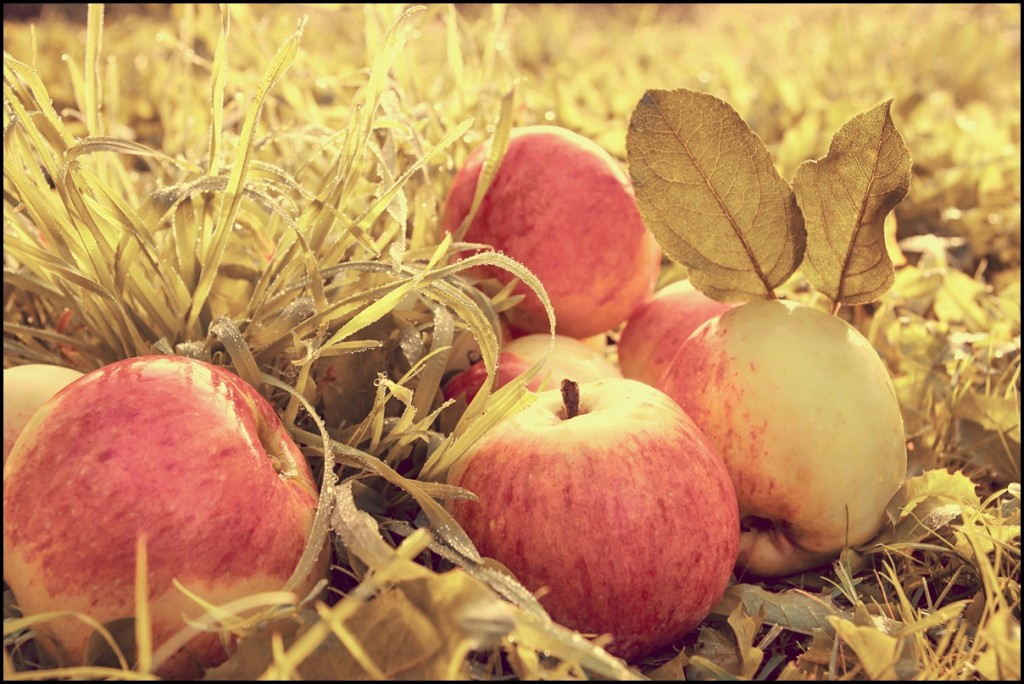 Red apples on grass on thanks-giving holiday.