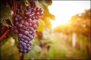 Red grape in vineyards at sunset in autumn harvest. Ripe grapes in fall.