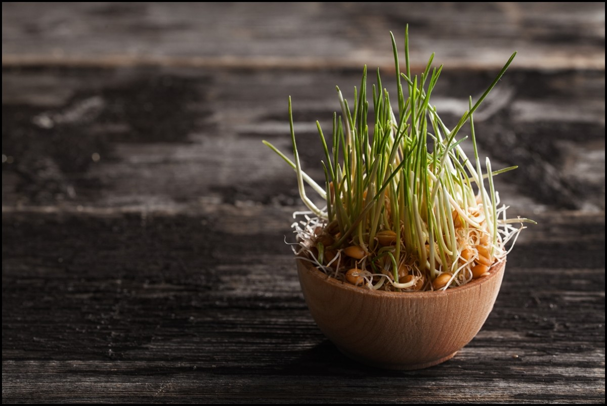 Wheat grass Sprouts