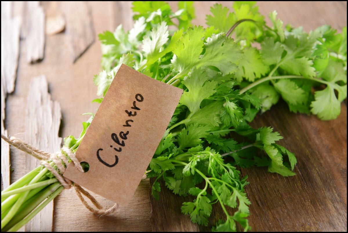 Wonder food - Cilantro