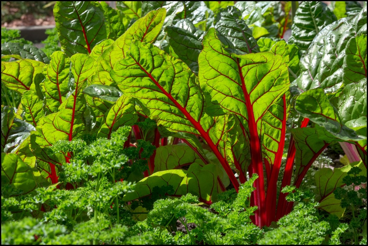 Swiss Chard - Beet Leaves in Vegetable Garden - Reasons to Eat Swiss Chard