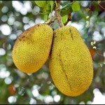 Fun Facts of Jack Fruit