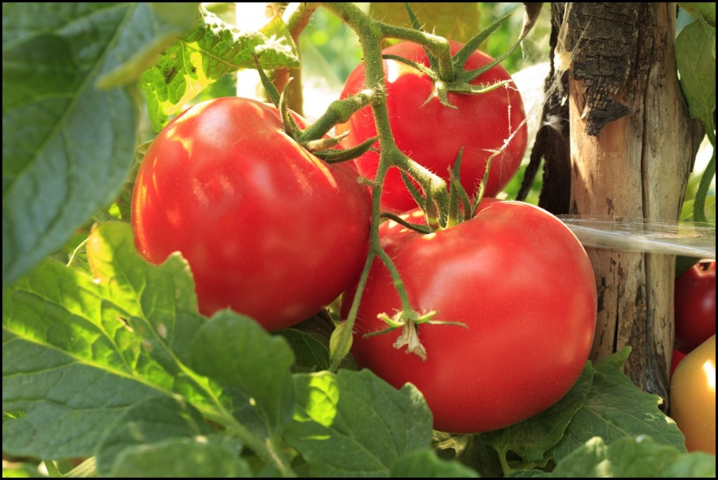 Fun Facts of Tomatoes